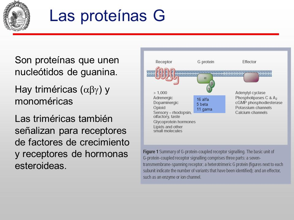 El ciclo de las proteínas G hetero- triméricas Miristil Palmitoil Prenil Libro de texto. pag. 55