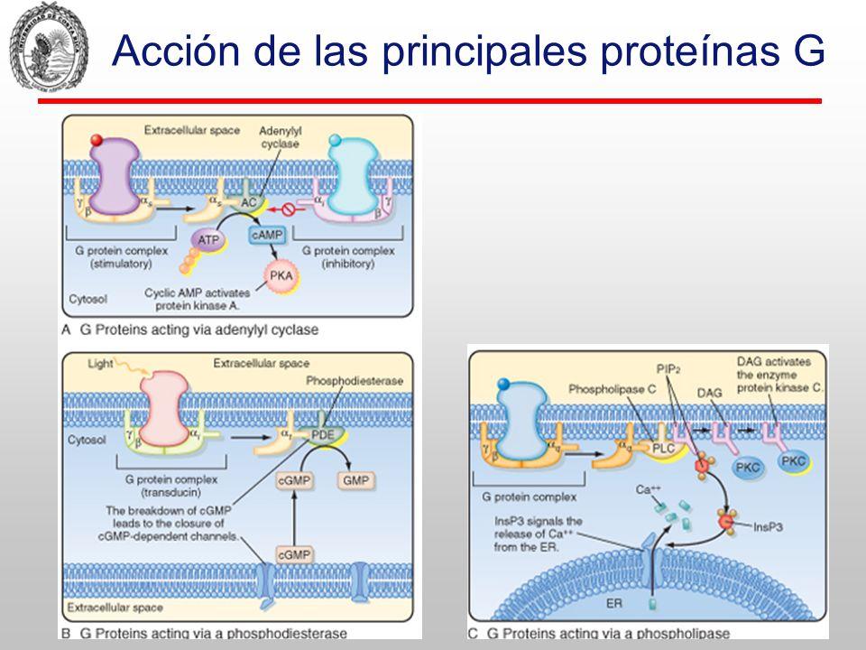 La PKA Compuesta por 4 subunidades: 2 reguladoras y 2 catalíticas En ocasiones se encuentra localizada en lugares específicos junto con algún substrato, gracias a una proteina de anclaje (AKAP) que la une al citoesqueleto.