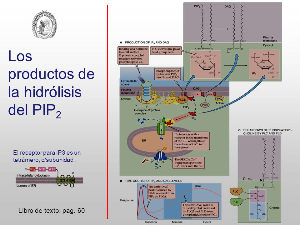 Fosfoinos í tidos Alberts, B.et al: Molecular Biology of the Cell, 5th ed.