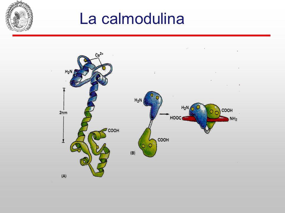 CaMKs: tipos I,II(mayoría, incluida la de la sinapsina),III,IV, fosforilasa kinasa y MLCK.