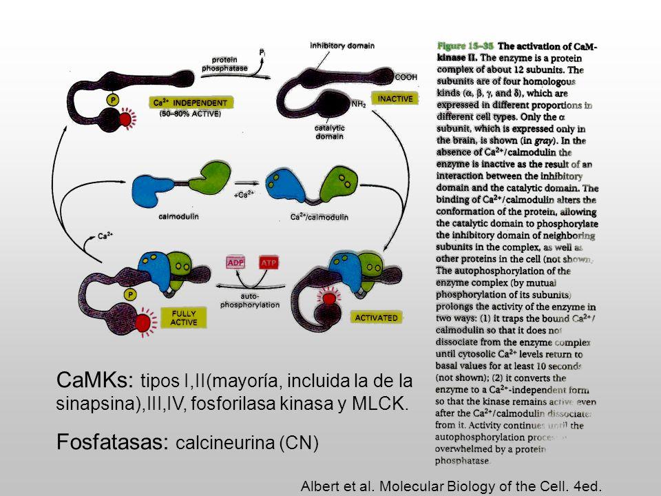 Enzimas dependientes del complejo Ca/CaM En terminales sinápticas: sinapsinas y tirosina hidroxilasa Calcineurina Fosfodiesterasa, AC y NO sintasa CaATPasa de membrana Degrada glucógeno