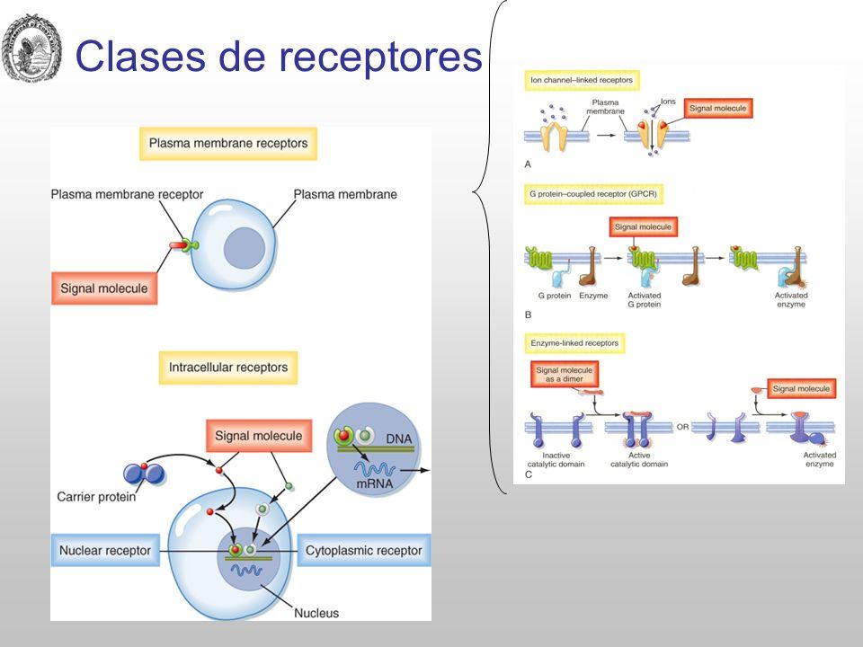 Secuencia de pasos tras la unión del L-R Reconocimiento: unión del L con el R por interacciones no covalentes: iónicas, van der Waals e hidrofóbicas.