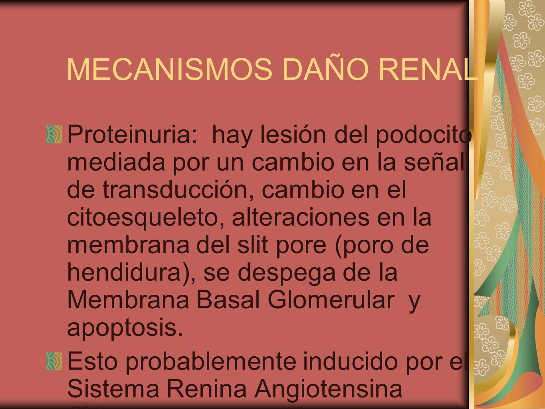 MECANISMOS DAÑO RENAL Proteinuria: hay lesión del podocito mediada por un cambio en la señal de transducción, cambio en el citoesqueleto, alteraciones