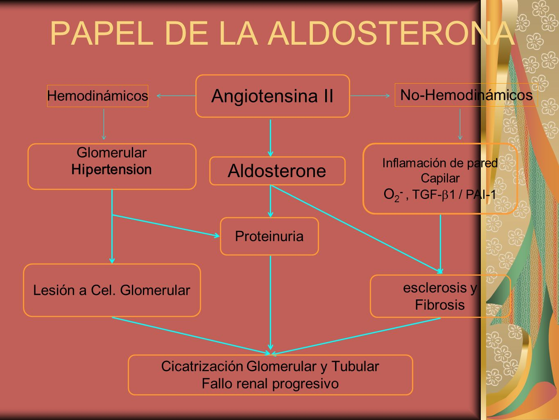 Inflamación de pared Capilar O 2 -, TGF- 1 / PAI-1 PAPEL DE LA ALDOSTERONA Glomerular Hipertension Angiotensina II Hemodinámicos No-Hemodinámicos escl
