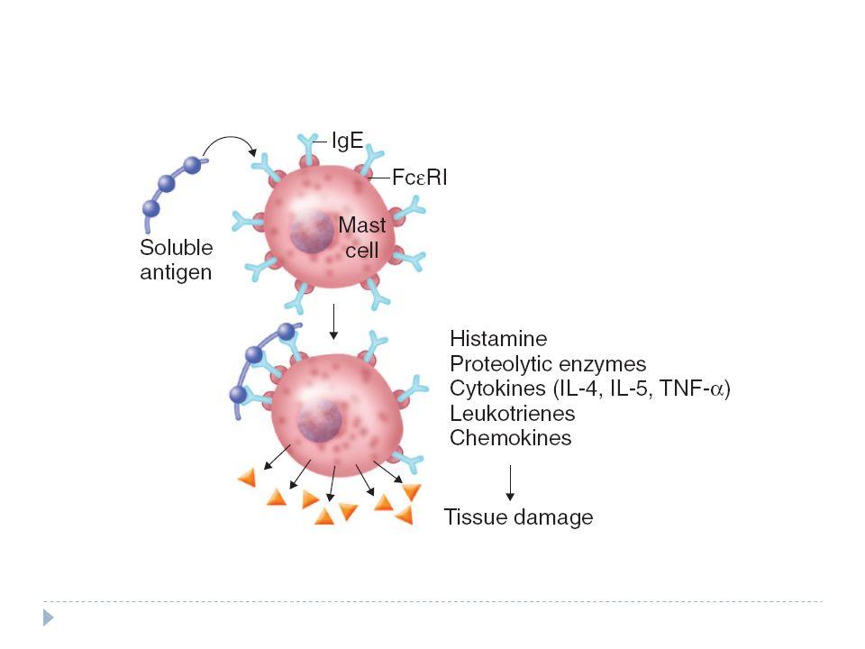 Mastocitos Reacción inflamatoria alérgica inmediata Aumenta permeabilidad vascular Destrucción de proteínas de la matriz tisular Producción y activación de eosinófilos Influjo de leucocitos Contracción del músculos liso Estimulación a la secreción de moco Amplificación de respuestas Th2