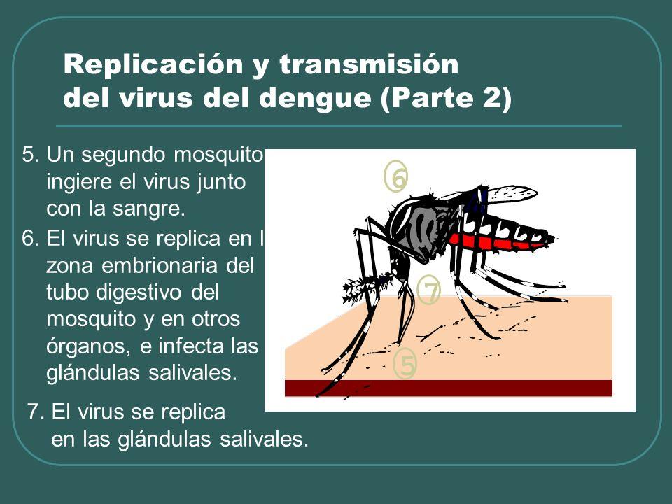Replicación y transmisión del virus del dengue (Parte 2) 5. Un segundo mosquito ingiere el virus junto con la sangre. 6. El virus se replica en la zon