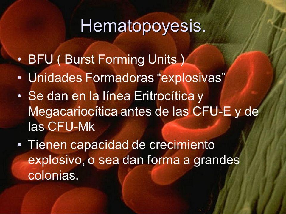 Hematopoyesis. BFU ( Burst Forming Units ) Unidades Formadoras explosivas Se dan en la línea Eritrocítica y Megacariocítica antes de las CFU-E y de la