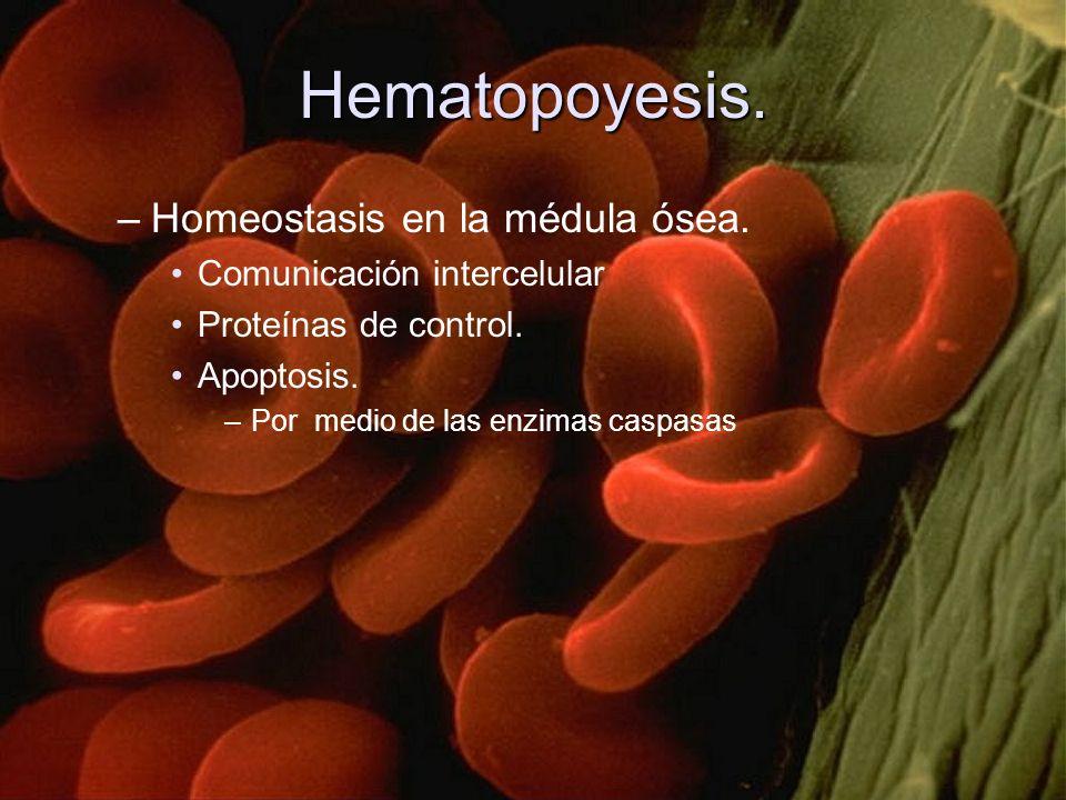 Hematopoyesis. –Homeostasis en la médula ósea. Comunicación intercelular Proteínas de control. Apoptosis. –Por medio de las enzimas caspasas