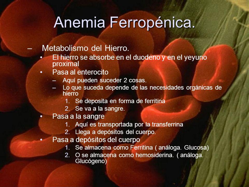 Anemia Ferropénica. –Metabolismo del Hierro. El hierro se absorbe en el duodeno y en el yeyuno proximal Pasa al enterocito –Aquí pueden suceder 2 cosa