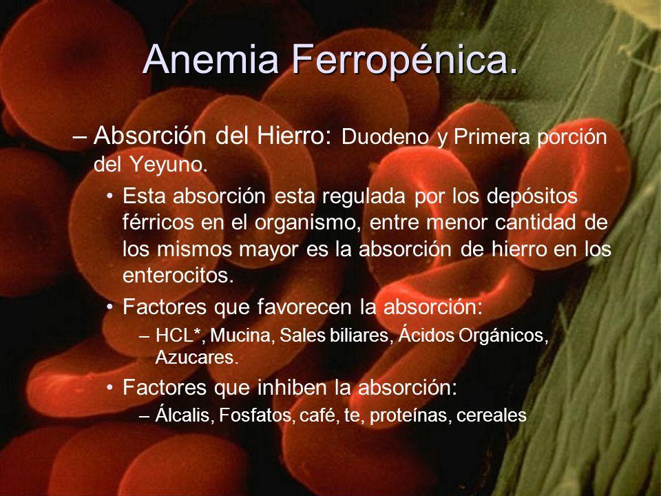 Anemia Ferropénica. –Absorción del Hierro: Duodeno y Primera porción del Yeyuno. Esta absorción esta regulada por los depósitos férricos en el organis