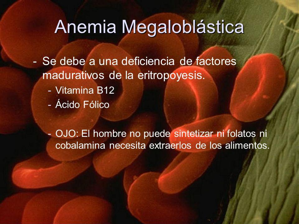 Anemia Megaloblástica -Se debe a una deficiencia de factores madurativos de la eritropoyesis. -Vitamina B12 -Ácido Fólico -OJO: El hombre no puede sin