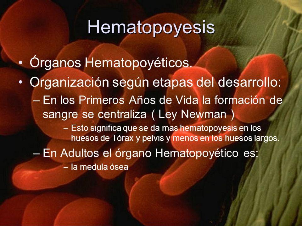 Hematopoyesis Órganos Hematopoyéticos. Organización según etapas del desarrollo: –En los Primeros Años de Vida la formación de sangre se centraliza (
