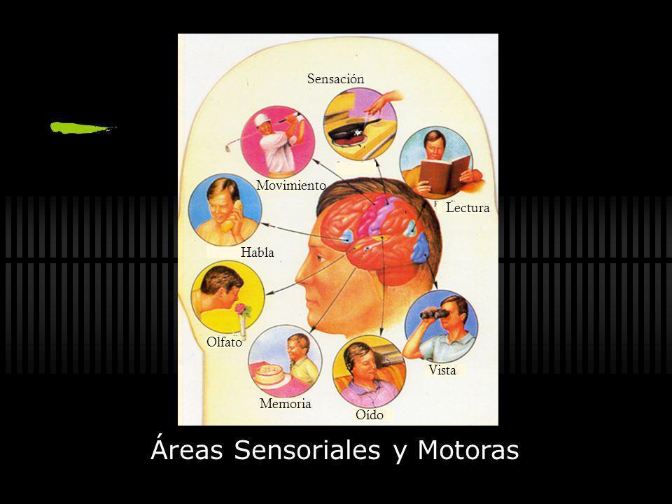 Neuroimágenes Cuerno temporal del ventr í culo lateral P é rdida celular y atrofia Normal -Esclerosis mesial temporal -Atrofia hipocampal PET Interiet