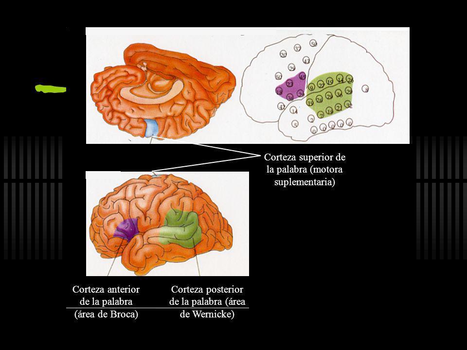 Áreas Sensoriales y Motoras Lectura Sensación Movimiento Habla Olfato Memoria Oído Vista