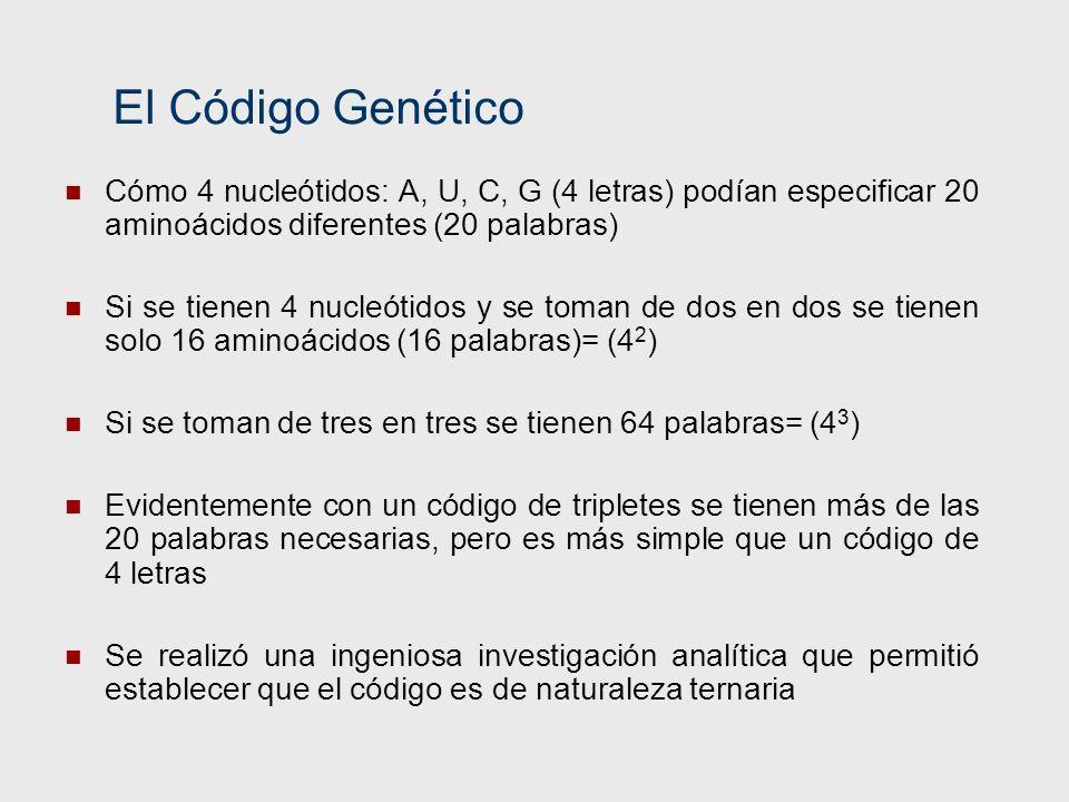 El Código Genético Cómo 4 nucleótidos: A, U, C, G (4 letras) podían especificar 20 aminoácidos diferentes (20 palabras) Si se tienen 4 nucleótidos y s