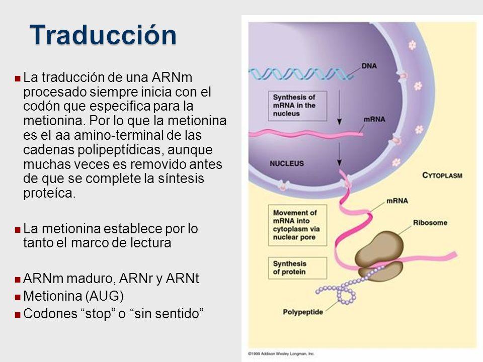La traducción de una ARNm procesado siempre inicia con el codón que especifica para la metionina. Por lo que la metionina es el aa amino-terminal de l