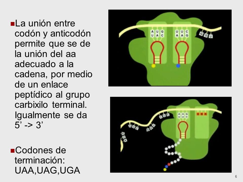 La unión entre codón y anticodón permite que se de la unión del aa adecuado a la cadena, por medio de un enlace peptídico al grupo carbixilo terminal.
