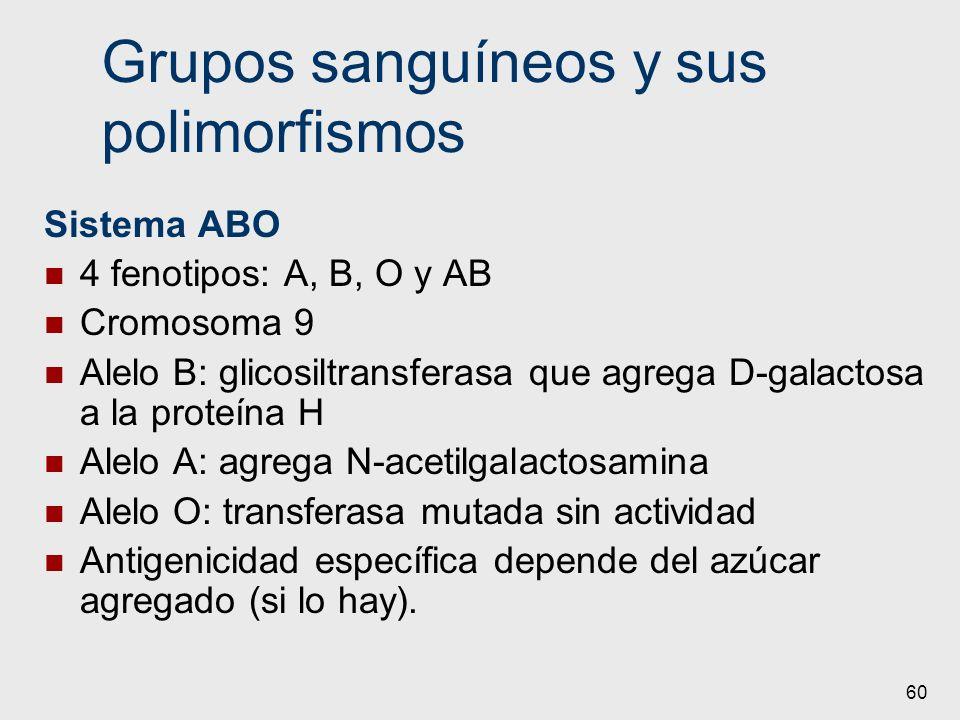 60 Grupos sanguíneos y sus polimorfismos Sistema ABO 4 fenotipos: A, B, O y AB Cromosoma 9 Alelo B: glicosiltransferasa que agrega D-galactosa a la pr