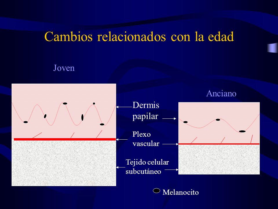 Cambios relacionados con la edad Dermis papilar Plexo vascular Tejido celular subcutáneo Melanocito Joven Anciano