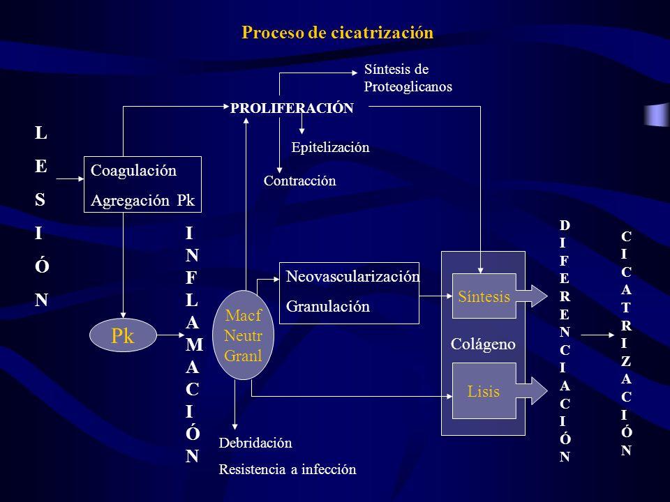 Proceso de cicatrización LESIÓNLESIÓN Coagulación Agregación Pk Pk INFLAMACIÓNINFLAMACIÓN Macf Neutr Granl Neovascularización Granulación PROLIFERACIÓ