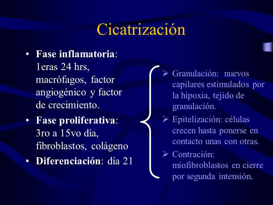 Cicatrización Fase inflamatoria: 1eras 24 hrs, macrófagos, factor angiogénico y factor de crecimiento. Fase proliferativa: 3ro a 15vo día, fibroblasto