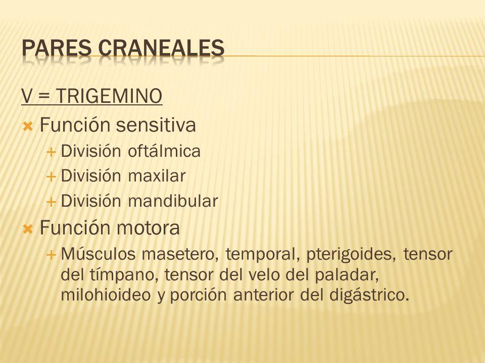 V = TRIGEMINO Función sensitiva División oftálmica División maxilar División mandibular Función motora Músculos masetero, temporal, pterigoides, tenso
