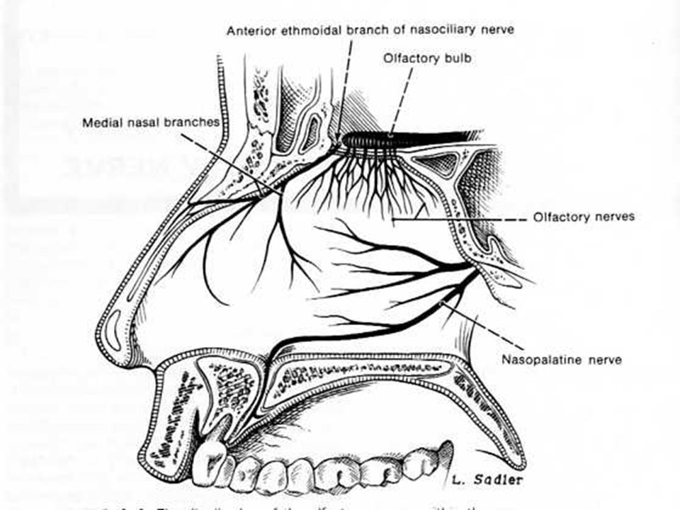 I = OLFATORIO TRASTORNOS DEL SENTIDO DEL OLFATO: Anosmia: Importante cuando es unilateral.