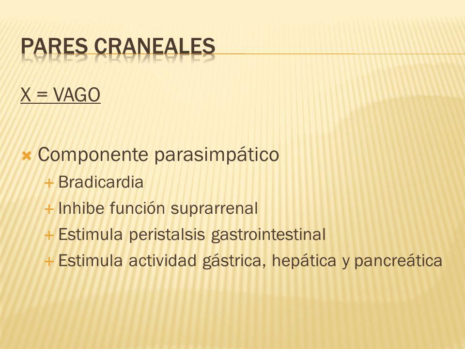 X = VAGO Componente parasimpático Bradicardia Inhibe función suprarrenal Estimula peristalsis gastrointestinal Estimula actividad gástrica, hepática y