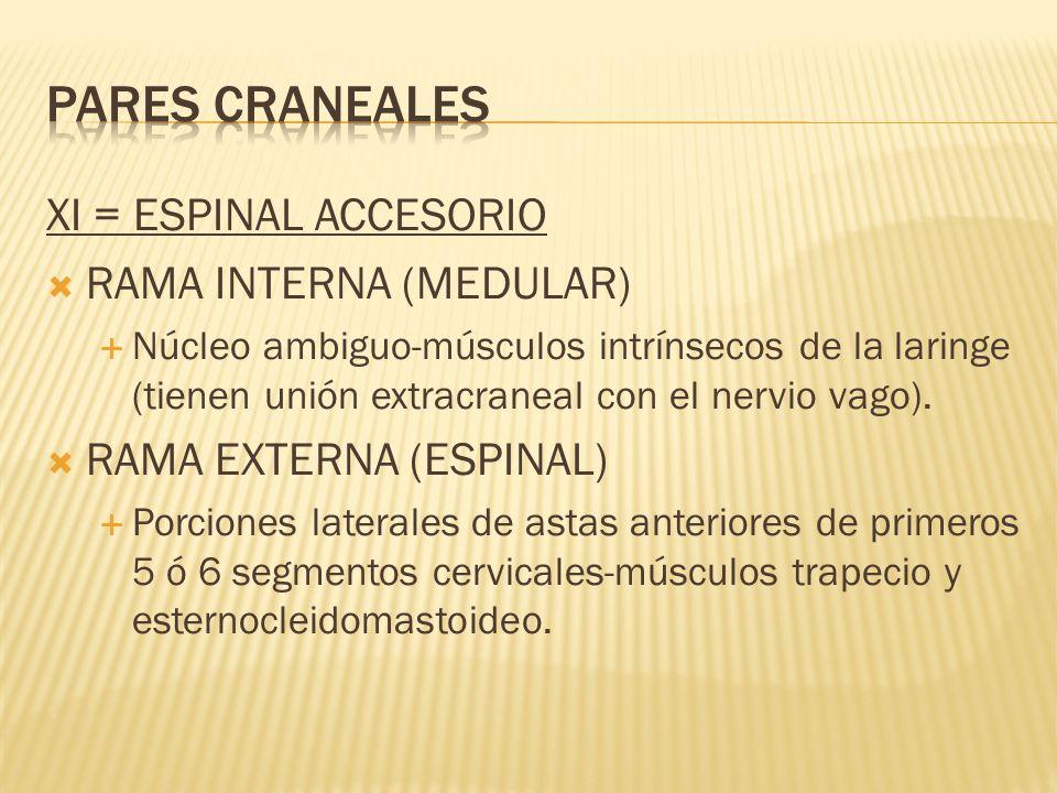 XI = ESPINAL ACCESORIO RAMA INTERNA (MEDULAR) Núcleo ambiguo-músculos intrínsecos de la laringe (tienen unión extracraneal con el nervio vago). RAMA E