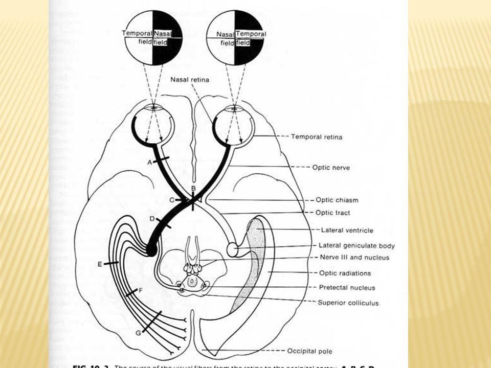 VII = FACIAL Función sensitiva (ganglio geniculado) Gusto 2/3 anteriores de la lengua (chorda tympani y nervios linguales).