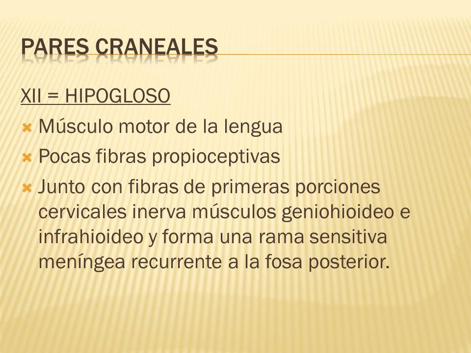 XII = HIPOGLOSO Músculo motor de la lengua Pocas fibras propioceptivas Junto con fibras de primeras porciones cervicales inerva músculos geniohioideo