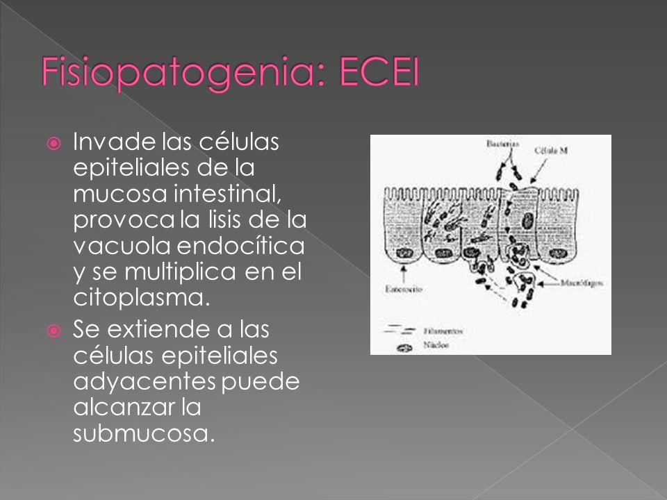 Invade las células epiteliales de la mucosa intestinal, provoca la lisis de la vacuola endocítica y se multiplica en el citoplasma. Se extiende a las