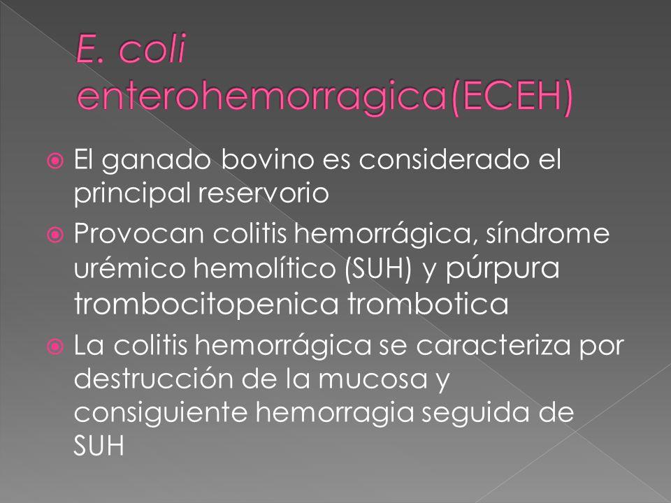 El ganado bovino es considerado el principal reservorio Provocan colitis hemorrágica, síndrome urémico hemolítico (SUH) y púrpura trombocitopenica tro
