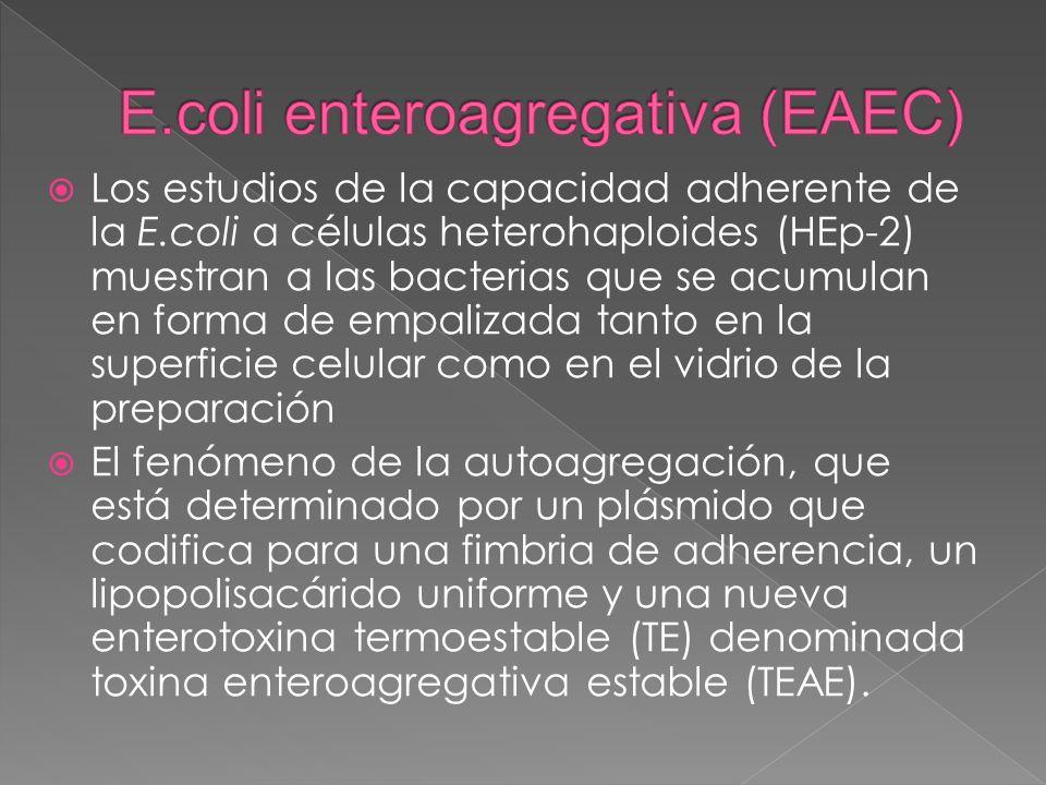 Los estudios de la capacidad adherente de la E.coli a células heterohaploides (HEp-2) muestran a las bacterias que se acumulan en forma de empalizada