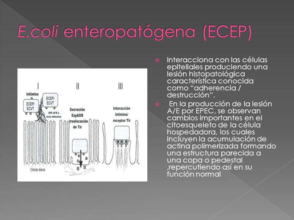 Interacciona con las células epiteliales produciendo una lesión histopatológica característica conocida como adherencia / destrucción. En la producció