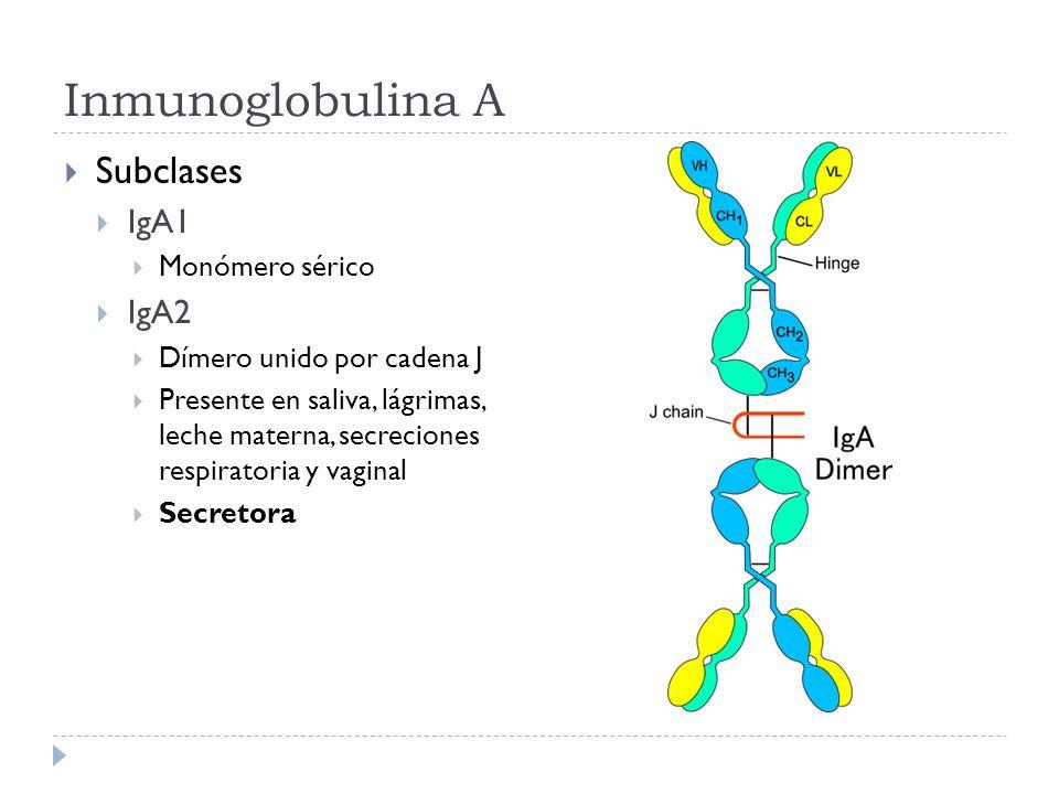 Inmunoglobulina A Subclases IgA1 Monómero sérico IgA2 Dímero unido por cadena J Presente en saliva, lágrimas, leche materna, secreciones respiratoria y vaginal Secretora