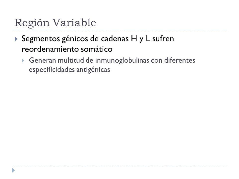Región Variable Segmentos génicos de cadenas H y L sufren reordenamiento somático Generan multitud de inmunoglobulinas con diferentes especificidades antigénicas