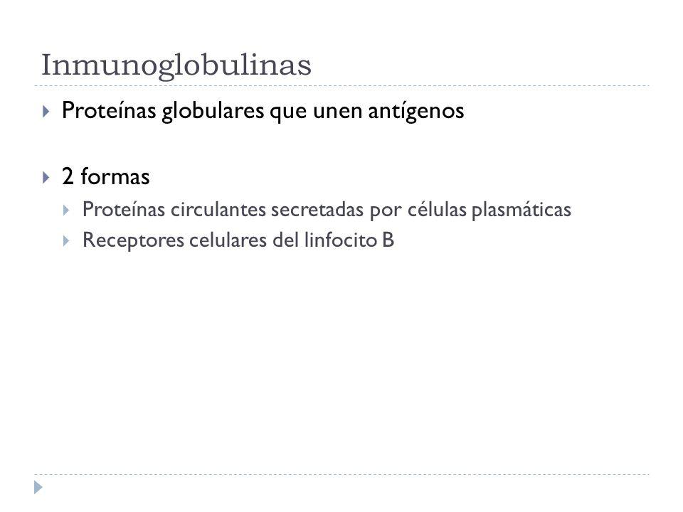 Inmunoglobulinas Proteínas globulares que unen antígenos 2 formas Proteínas circulantes secretadas por células plasmáticas Receptores celulares del linfocito B