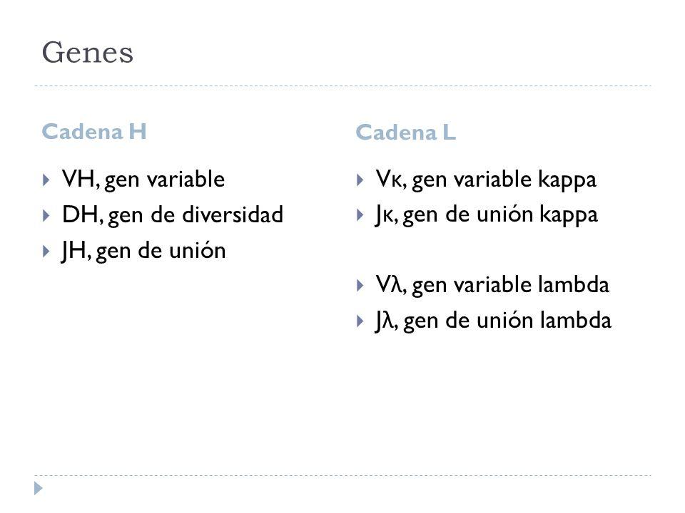 Genes Cadena H Cadena L VH, gen variable DH, gen de diversidad JH, gen de unión V κ, gen variable kappa J κ, gen de unión kappa V λ, gen variable lambda J λ, gen de unión lambda