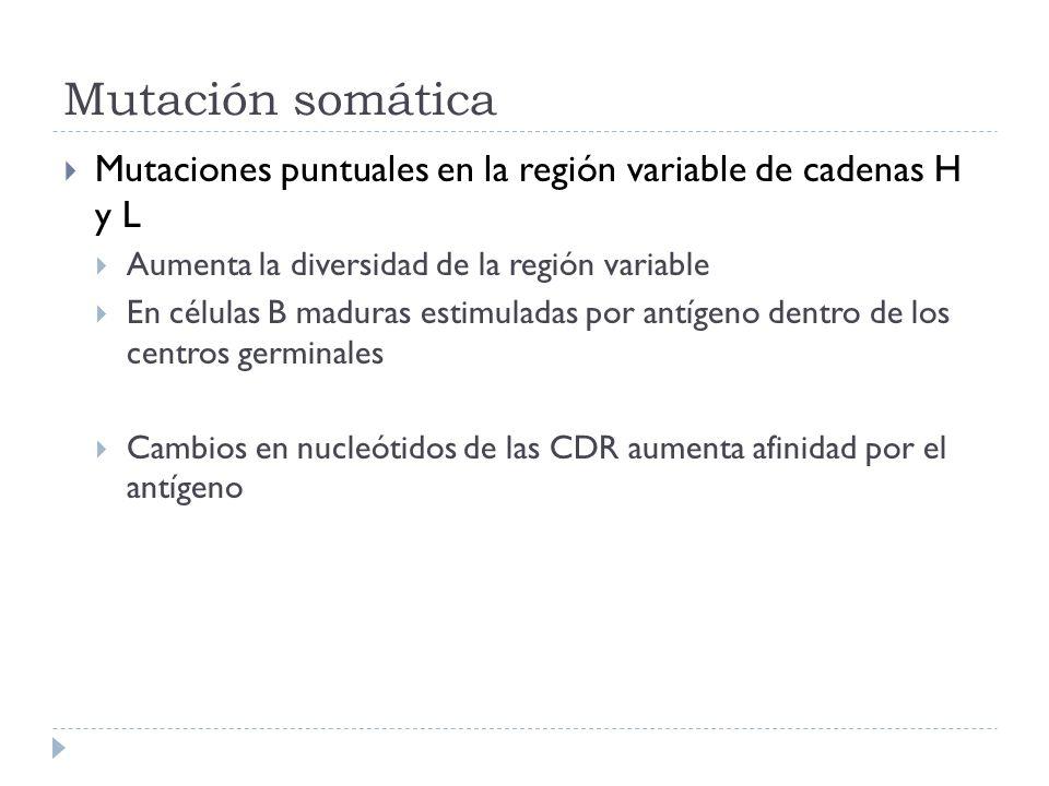 Mutación somática Mutaciones puntuales en la región variable de cadenas H y L Aumenta la diversidad de la región variable En células B maduras estimuladas por antígeno dentro de los centros germinales Cambios en nucleótidos de las CDR aumenta afinidad por el antígeno