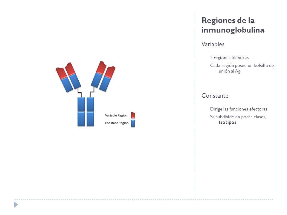 Regiones de la inmunoglobulina Variables 2 regiones idénticas Cada región posee un bolsillo de unión al Ag Constante Dirige las funciones efectoras Se subdivide en pocas clases, Isotipos