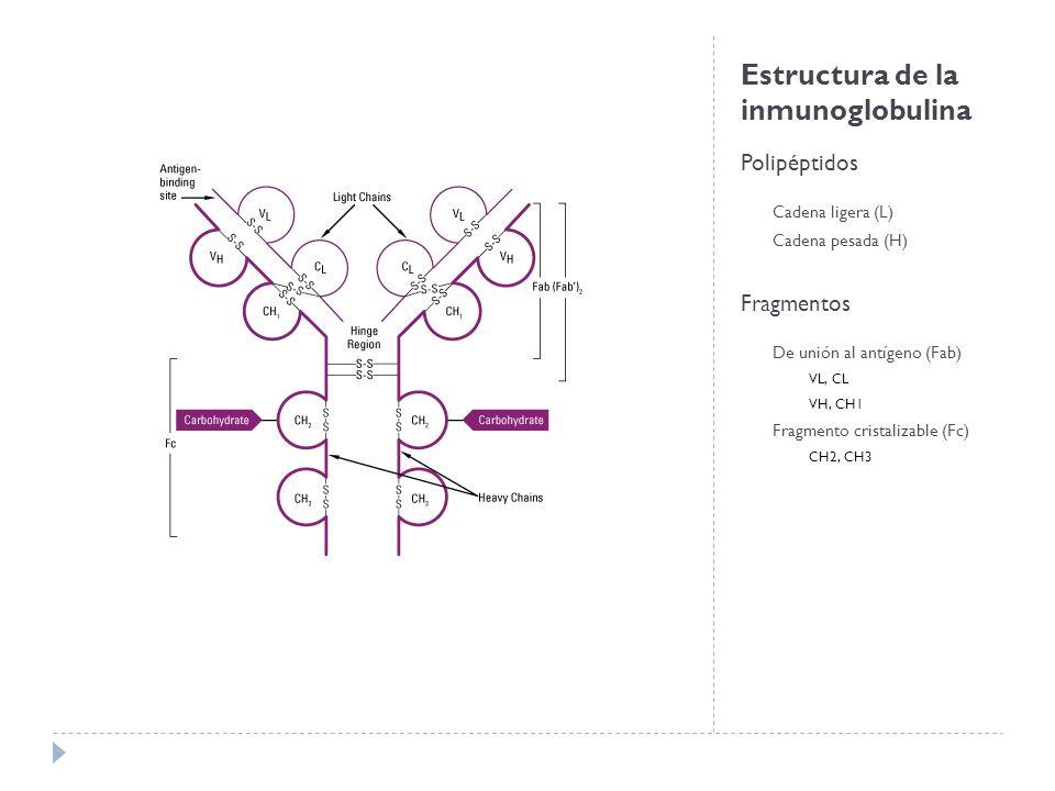 Estructura de la inmunoglobulina Polipéptidos Cadena ligera (L) Cadena pesada (H) Fragmentos De unión al antígeno (Fab) VL, CL VH, CH1 Fragmento cristalizable (Fc) CH2, CH3