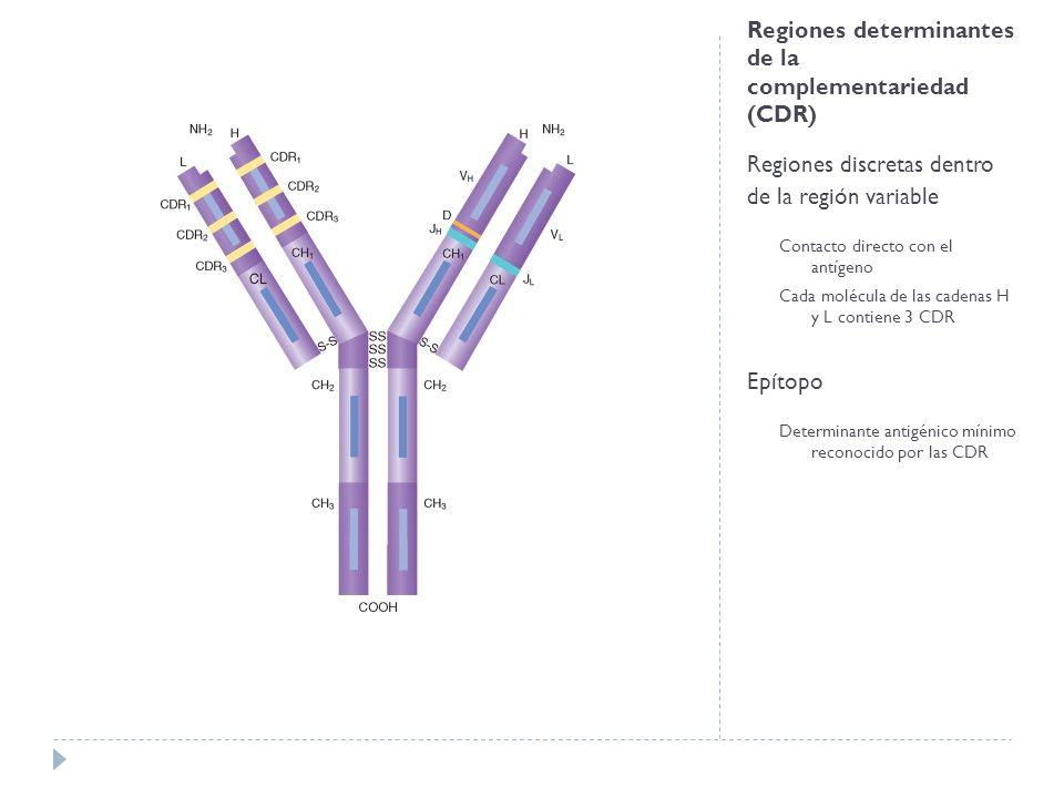 Regiones determinantes de la complementariedad (CDR) Regiones discretas dentro de la región variable Contacto directo con el antígeno Cada molécula de las cadenas H y L contiene 3 CDR Epítopo Determinante antigénico mínimo reconocido por las CDR