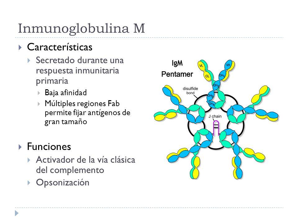Inmunoglobulina M Características Secretado durante una respuesta inmunitaria primaria Baja afinidad Múltiples regiones Fab permite fijar antígenos de gran tamaño Funciones Activador de la vía clásica del complemento Opsonización