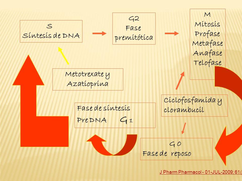 S Síntesis de DNA G2 Fase premitótica M Mitosis Profase Metafase Anafase Telofase Fase de síntesis Pre DNA G 1 G 0 Fase de reposo Ciclofosfamida y clo