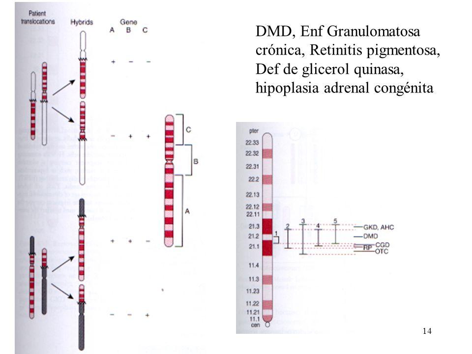 14 DMD, Enf Granulomatosa crónica, Retinitis pigmentosa, Def de glicerol quinasa, hipoplasia adrenal congénita