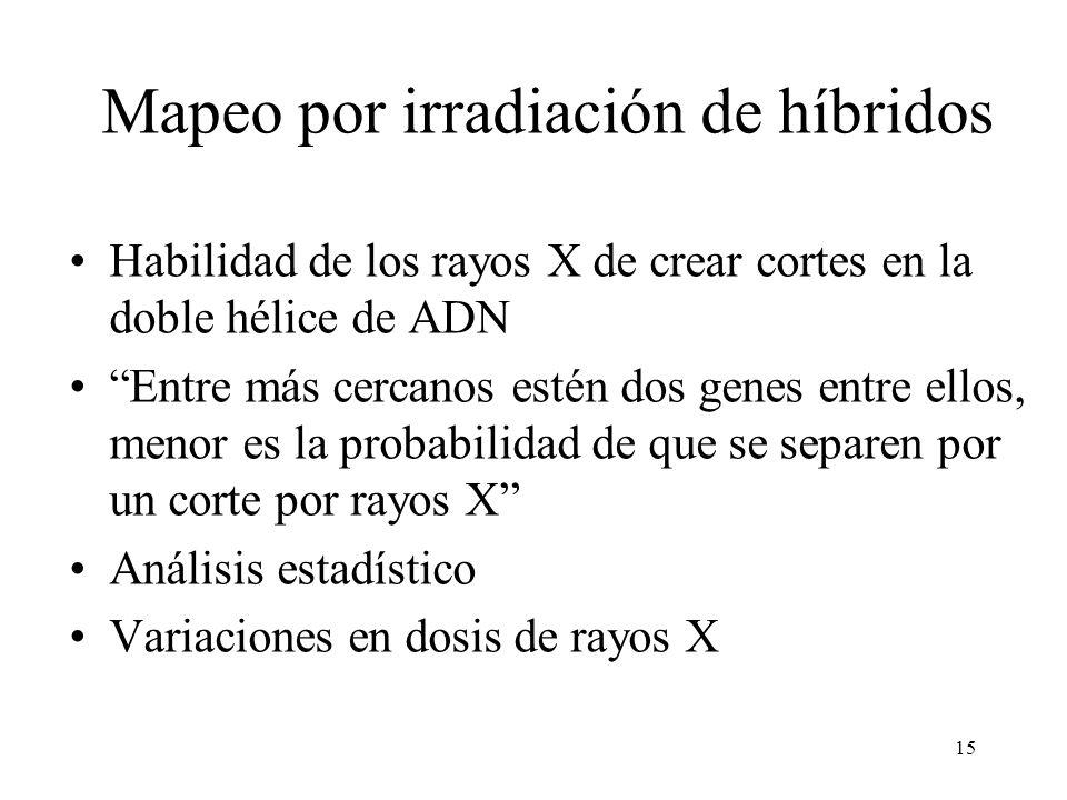15 Mapeo por irradiación de híbridos Habilidad de los rayos X de crear cortes en la doble hélice de ADN Entre más cercanos estén dos genes entre ellos