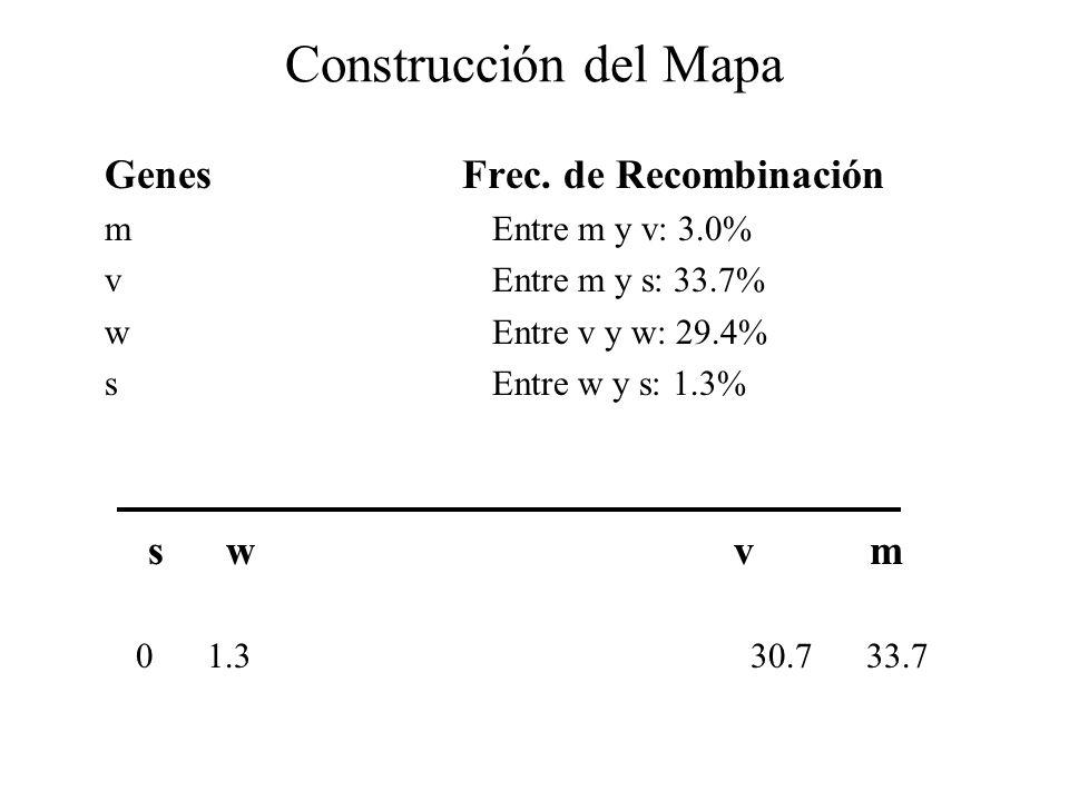 Construcción del Mapa Genes Frec. de Recombinación mEntre m y v: 3.0% v Entre m y s: 33.7% wEntre v y w: 29.4% s Entre w y s: 1.3% s w v m 0 1.3 30.7
