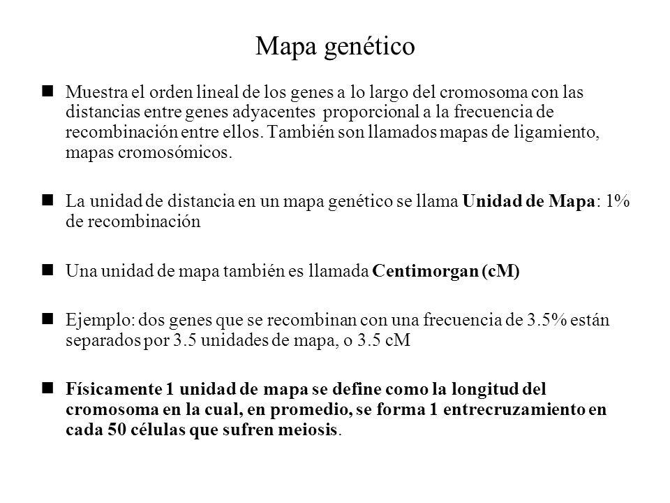 Mapa genético Muestra el orden lineal de los genes a lo largo del cromosoma con las distancias entre genes adyacentes proporcional a la frecuencia de