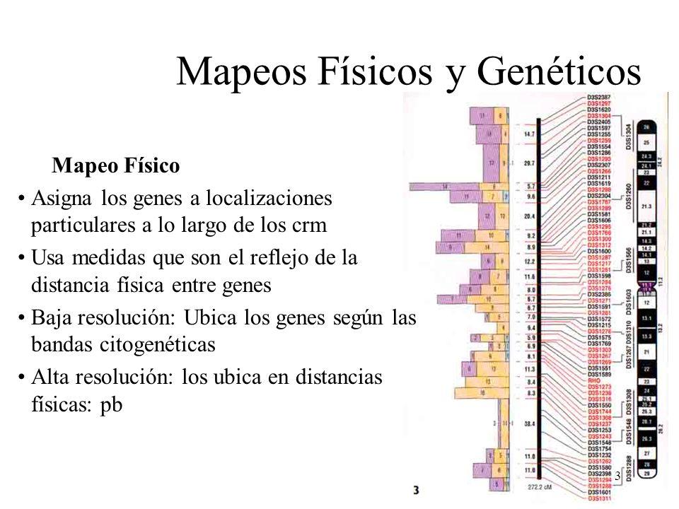 3 Mapeos Físicos y Genéticos Mapeo Físico Asigna los genes a localizaciones particulares a lo largo de los crm Usa medidas que son el reflejo de la di